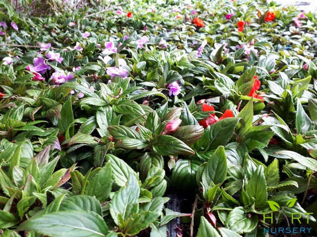impatiens-new-guinea