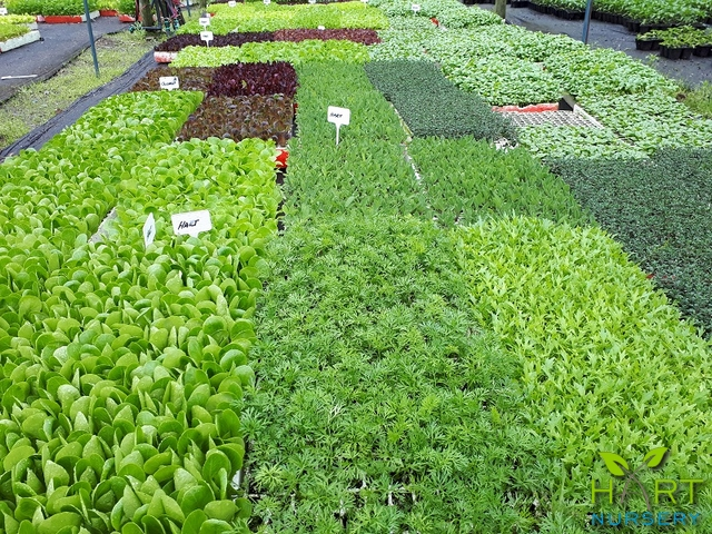 vegetable-and-herb-seedlings